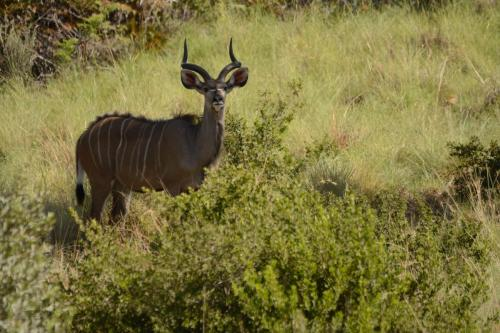 Great kudu