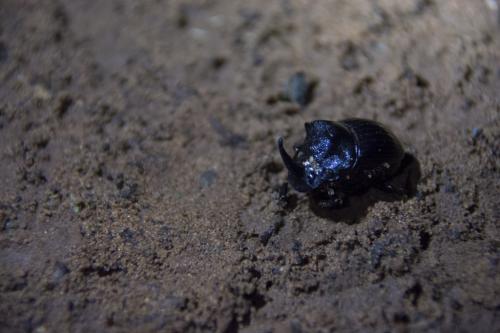 Nursing dung beetle