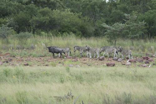 Blue wildebeest and Burchell zebra