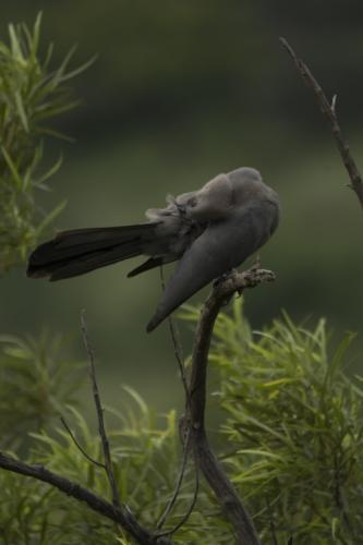 Grey go-way bird