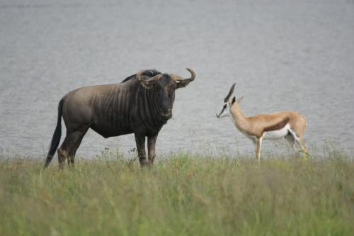 Blue wildebeest and springbok