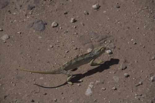 Flap-neck chameleon