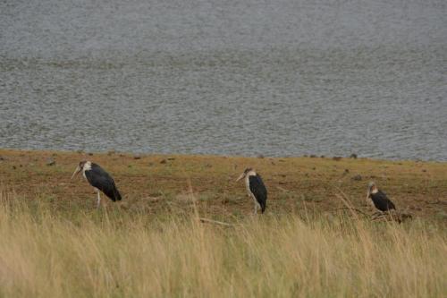 Marabout stork