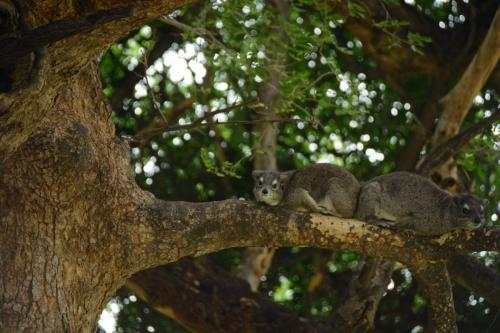 Southern yellow-spotted hyrax
