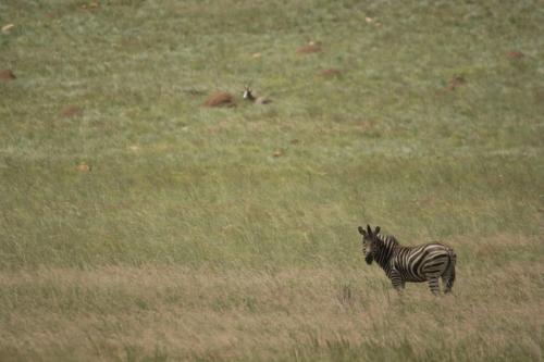Burchell zebra and Blesbok