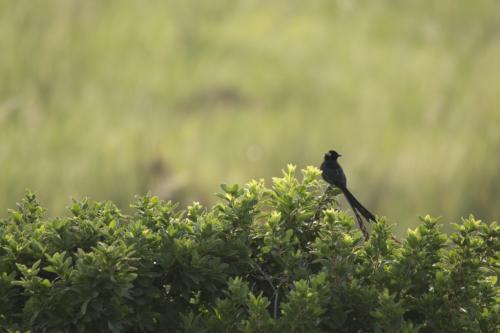 Red-bollared widowbird