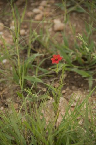 Redstar zinnia