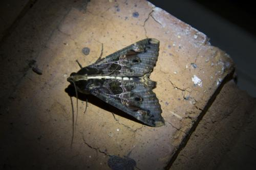 Sundowner moth