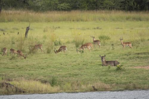Impala and waterbuck