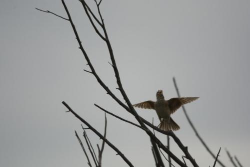 Rufous-napped lark