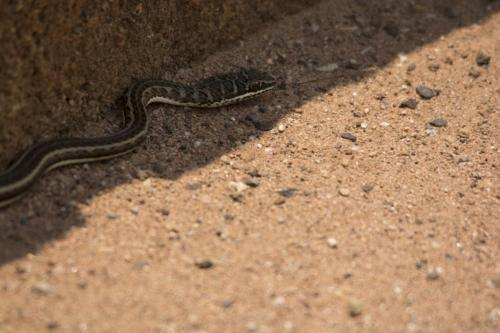 Western striped-bellied sand snake