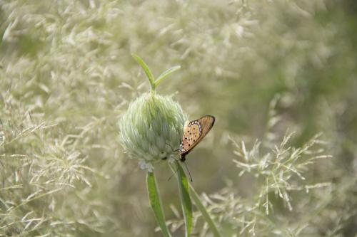 Acraea on Transvaal milkweed