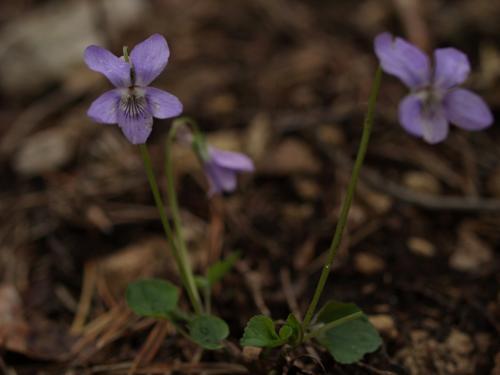 Une Pensée pour les Violettes - 15.04.2012