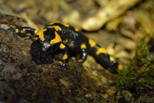 Les Salamandres helvétiques... - 22.05.2015
